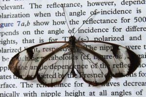 2015_037_Nature_-_Reflexionsarme_Fluegel_machen_Schmetterlinge_fast_unsichtbar_72dpi