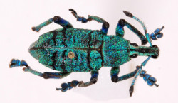 E96 Eupholus sp., W. Sepik, PNG