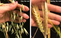 oat_barley_pic2