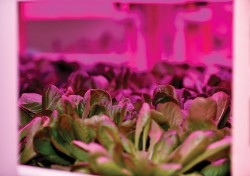 Horticulture_GettyImages-503536132_Lettuce_super-RGB