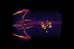ratbladder-700x467