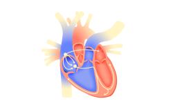 Сердце_схема
